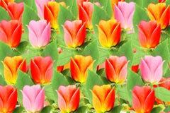 Flor color de rosa del multicolor Fotografía de archivo