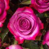 Flor color de rosa del pétalo magenta Imágenes de archivo libres de regalías