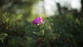 Flor color de rosa del perro bajo sol Verano Cierre para arriba Remiendo de la luz reflejada metrajes