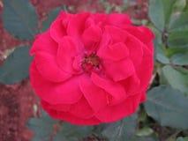 Flor color de rosa del rojo Foto de archivo libre de regalías