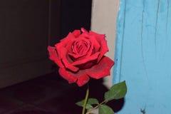 Flor color de rosa del rojo imagen de archivo
