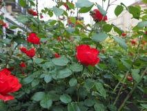Flor color de rosa del rojo Fotografía de archivo