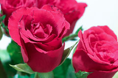 Flor color de rosa del rojo Fotos de archivo