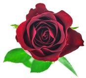 Flor color de rosa del rojo aislada en el fondo blanco Foto de archivo libre de regalías
