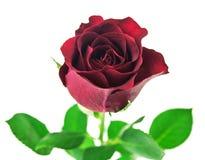 Flor color de rosa del rojo aislada en el fondo blanco Fotos de archivo