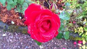 Flor color de rosa del rojo hermoso Fotos de archivo