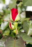 Flor color de rosa del rojo hermoso Foto de archivo libre de regalías
