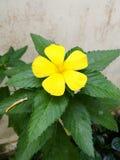 Flor color de rosa del sabio amarillo Fotos de archivo