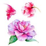 Flor color de rosa del té del Wildflower en un estilo de la acuarela aislada Fotos de archivo libres de regalías