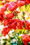 Flor color de rosa del té rojo Imagen de archivo libre de regalías