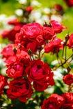 Flor color de rosa del té rojo Imágenes de archivo libres de regalías