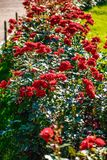 Flor color de rosa del té rojo Foto de archivo
