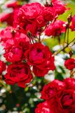 Flor color de rosa del té rojo Fotos de archivo libres de regalías