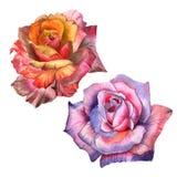 Flor color de rosa del Wildflower en un estilo de la acuarela aislada Imágenes de archivo libres de regalías