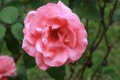 flor color de rosa en jardín fotografía de archivo