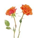 Flor color de rosa hermosa anaranjada dos en blanco Imagen de archivo libre de regalías