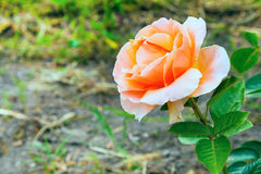 Flor color de rosa hermosa del primer, tarjeta del feliz cumpleaños Imagen de archivo libre de regalías