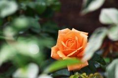 Flor color de rosa de la naranja fresca en jardín imagenes de archivo