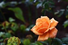 Flor color de rosa de la naranja hermosa en jardín foto de archivo