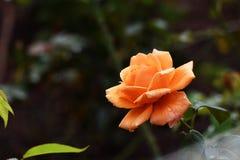 flor color de rosa de la naranja rara del color en jardín fotos de archivo