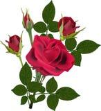 Flor color de rosa rojo oscuro y tres brotes aislados Foto de archivo libre de regalías
