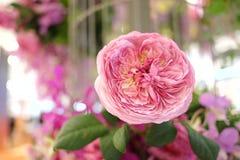 Flor color de rosa rosado dulce de la flor en área del sitio foto de archivo