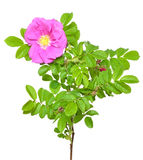 Flor color de rosa salvaje Imagenes de archivo