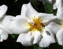 Flor color de rosa salvaje Fotos de archivo