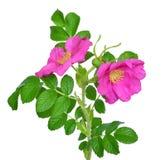 Flor color de rosa salvaje Imagen de archivo libre de regalías