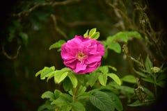 Flor color de rosa salvaje fotografía de archivo libre de regalías