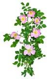Flor color de rosa salvaje Imagen de archivo