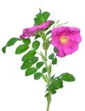 Flor color de rosa salvaje Fotos de archivo libres de regalías