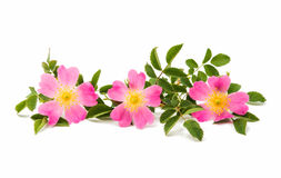 flor color de rosa salvaje aislada Foto de archivo