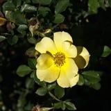 Flor color de rosa salvaje amarilla Fotografía de archivo