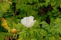 Flor color de rosa salvaje blanca - canina de Rosa Imagen de archivo