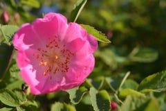 Flor color de rosa salvaje colorida brillante con los pétalos rosados Fotografía de archivo libre de regalías