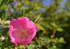 Flor color de rosa salvaje colorida brillante con los pétalos rosados Imagenes de archivo