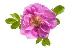 Flor color de rosa salvaje en el fondo blanco Foto de archivo