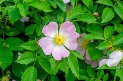 Flor color de rosa salvaje rosada Fotografía de archivo