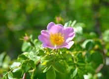 Flor color de rosa salvaje rosada Fotografía de archivo libre de regalías