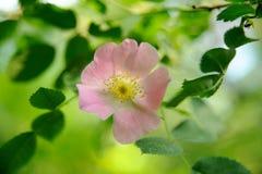 Flor color de rosa salvaje rosada con el fondo de la hoja del verde del bokeh Imagen de archivo libre de regalías