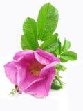 Flor color de rosa salvaje rosada con las hojas Fotos de archivo libres de regalías