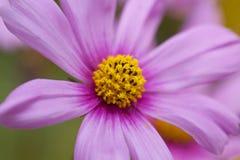 Flor coloreada color de rosa Imagenes de archivo