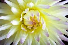 Flor coloreada en colores pastel de la dalia Fotografía de archivo libre de regalías