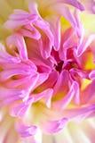 Flor coloreada en colores pastel de la dalia Foto de archivo