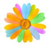 Flor coloreada hermosa Fotografía de archivo libre de regalías