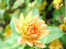 Flor coloreada melocotón Imagen de archivo libre de regalías