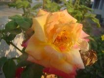 Flor colorida Fotografía de archivo