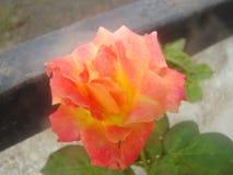 Flor colorida Foto de archivo libre de regalías