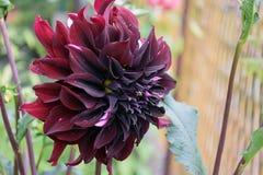 Flor colorida bonita do verão em meu jardim Foto de Stock Royalty Free